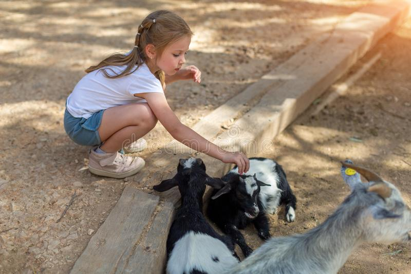 Little girl feeding cattle on a warm sunny day in zoo stock image