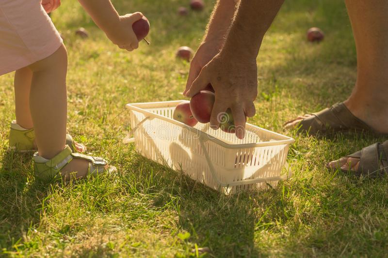 Cute little girl pick up the apple on garden with her grandfather. And put them to basket stock images