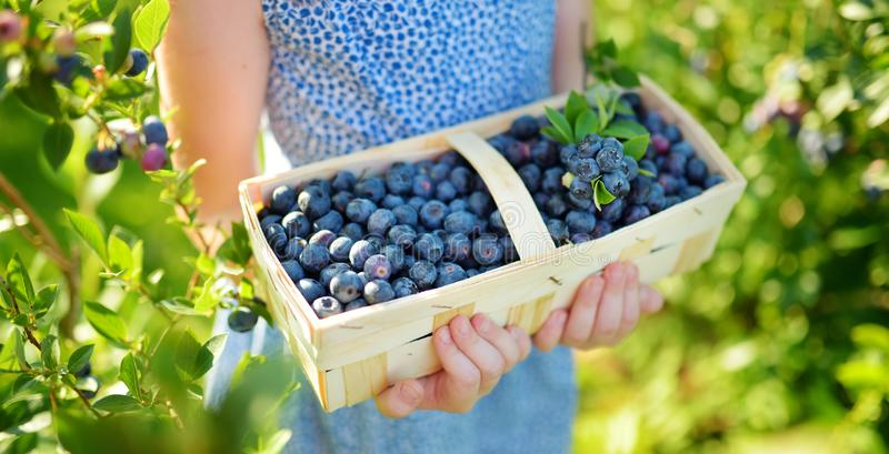 Cute little girl picking fresh berries on organic blueberry farm on warm and sunny summer day. Fresh healthy organic food for. Small kids. Family activities in royalty free stock photography