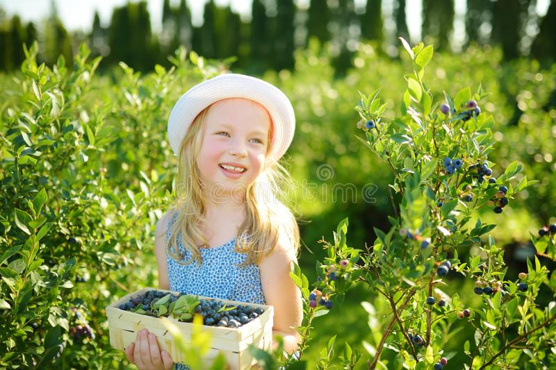 Cute little girl picking fresh berries on organic blueberry farm on warm and sunny summer day. Fresh healthy organic food for royalty free stock photo