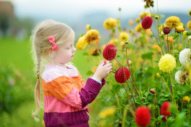 Cute little girl playing in blossoming dahlia field. Child picking fresh flowers in dahlia meadow on sunny summer day. Kid choosing flowers for her mother stock photography