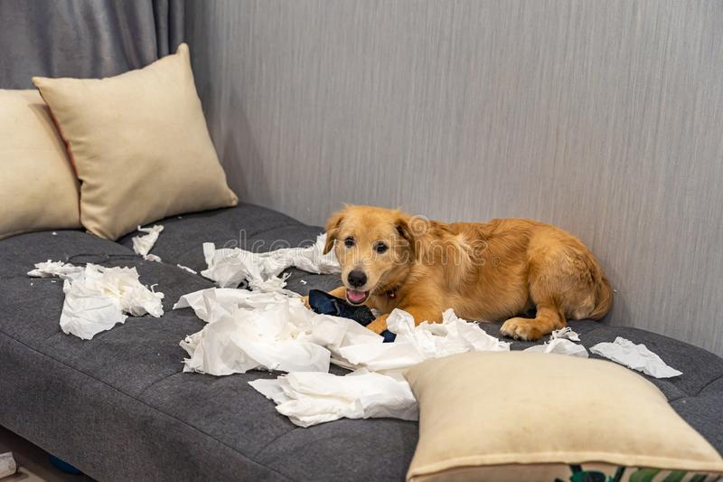 Cute little golden retriever dog playing toilet paper on sofa stock photos
