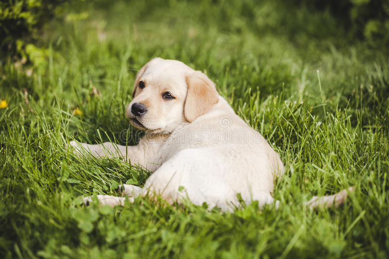 Cute little golden retriever puppy. Playing royalty free stock image
