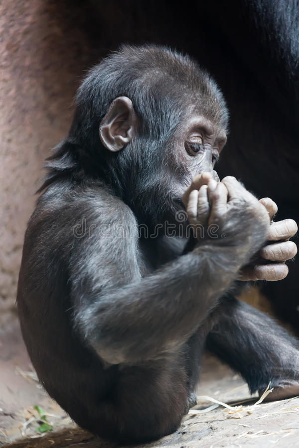 Cute little gorilla baby playing with foot royalty free stock photo