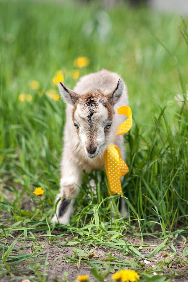 Cute little gray goat stock photo