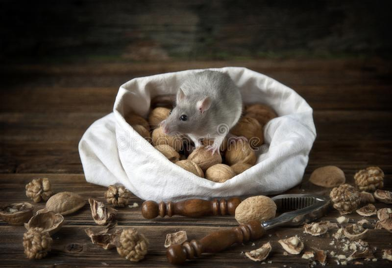 Cute little gray mouse, rat sits in a bag of walnuts and nutcracker. Still life in vintage style with a live rat. Chinese New Year. Symbol royalty free stock photography