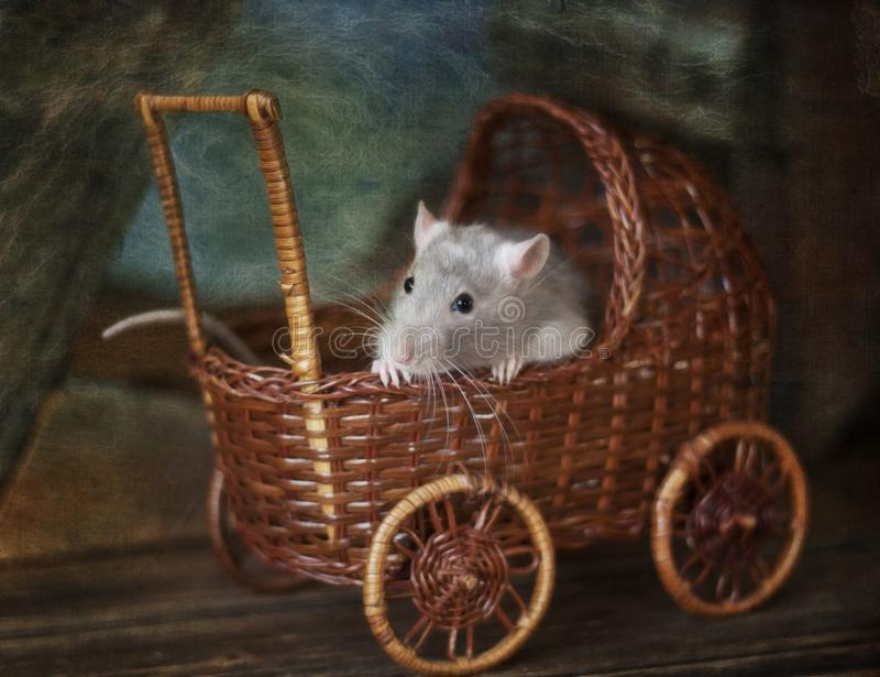 Cute little gray rat, mouse  sits  in a toy wicker carriage. Still life in vintage style with a live rat. Chinese New Year symbol royalty free stock photography