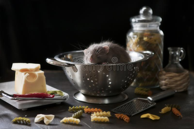 Cute little gray rat sits in a metal cullender with pasta and cheese. Still life in vintage style with a live rat. Chinese New royalty free stock photo