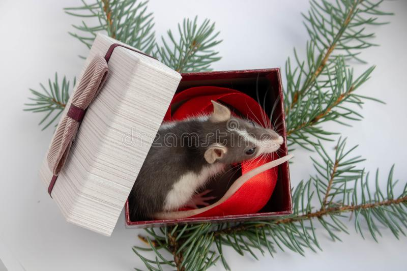 Cute little grey rat, mouse sits in festive gift box. Present for New Year of the Rat. Chinese New Year symbol stock photos