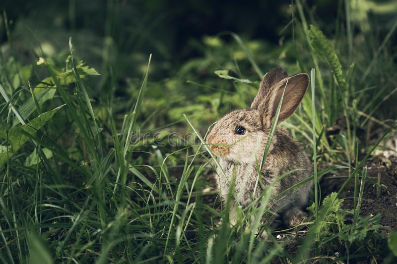 Cute little hare or rabbit hiding in the grass stock photos