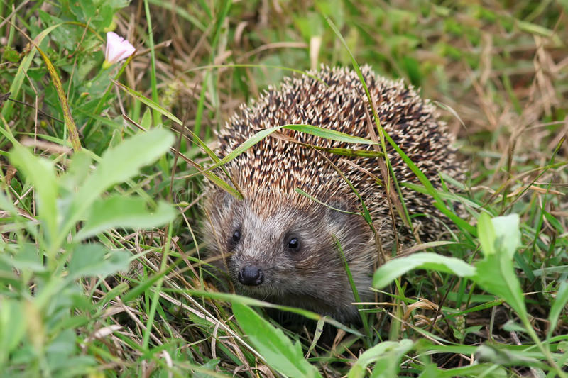 Cute little hedgehog crawling. In the green grass on meadow stock photography