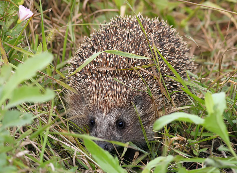 Cute little hedgehog crawling. In the green grass on meadow royalty free stock photo
