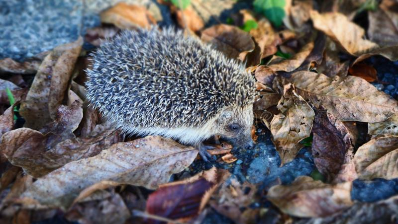 Cute Little Hedgehog searching for Food in Autumn Leaves. Cute and Little Hedgehog searching for Food in Autumn Leaves royalty free stock photography