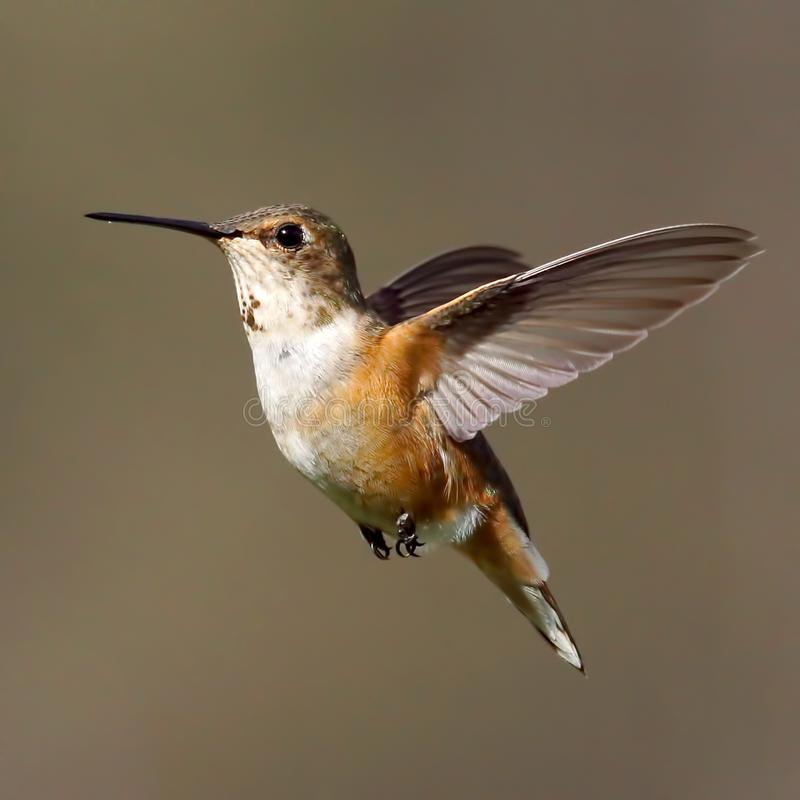 A female Rufous Hummingbird frozen in time with a blurred background stock photos