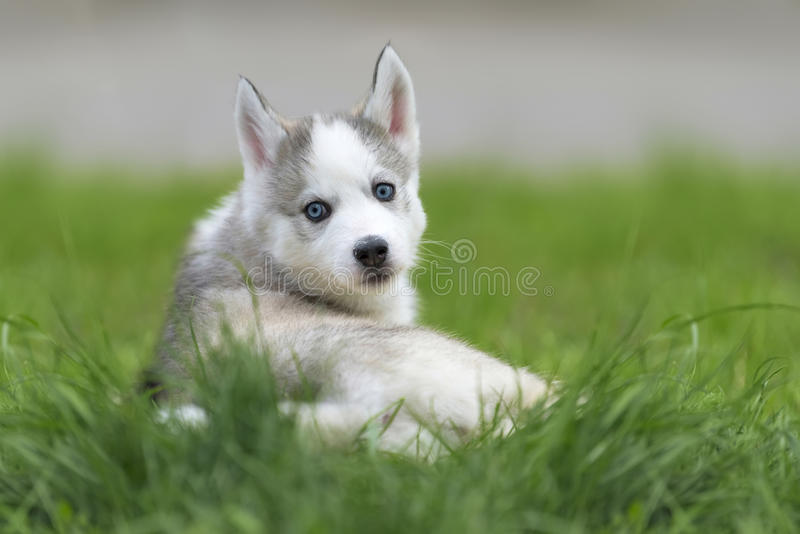 Cute little husky puppy stock image