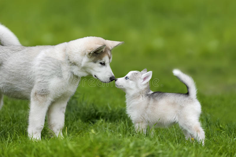 Cute little husky puppy. Cute little siberian husky puppy in grass royalty free stock photography