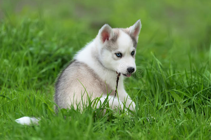Cute little husky puppy. Cute little siberian husky puppy in grass royalty free stock image
