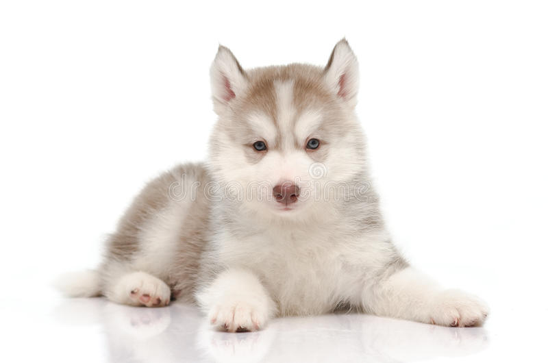 Cute little husky puppy stock images
