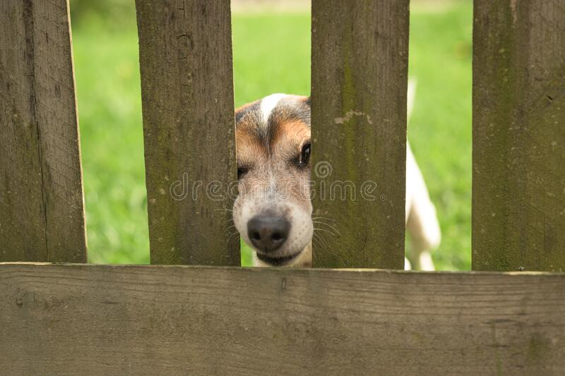 Cute Little Jack Russell Terrier dog 12 years old. Doggie squeezes his nose through the fence opening. Little Jack Russell Terrier dog 12 years old. Doggie stock photo
