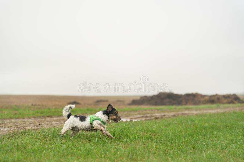 Cute little Jack Russell Terrier, 13 years old. Dog runs with power over a wet meadow in fog and bad weather and has fun. Cute small Jack Russell Terrier, 13 stock photography