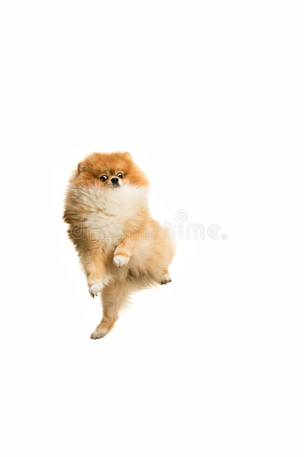 Cute Little young pomeranian cob isolated over white background. The cute Little jumping young pomeranian cob isolated over white studio background royalty free stock image