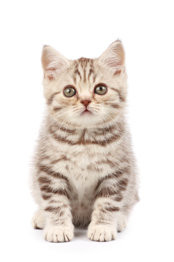 Cute little kitten. Isolated over white background royalty free stock photography