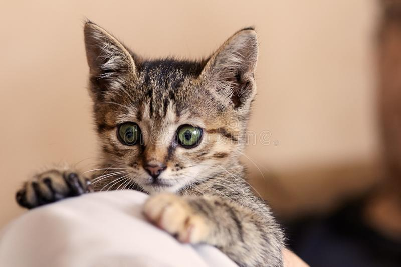 Cute little kitten with big green eyes sit on man knees. Funny scared expression of face. royalty free stock images