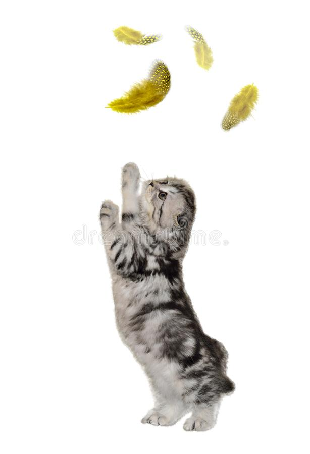 Cute little kitten of Highland Fold on hind paws plays with fly. Cute black with silver kitten of Highland Fold or Scottish Fold longhaired and flap-eared breed royalty free stock photo