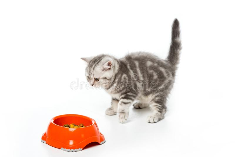 Cute little kitten looking at plastic bowl with cat food isolated on white royalty free stock image