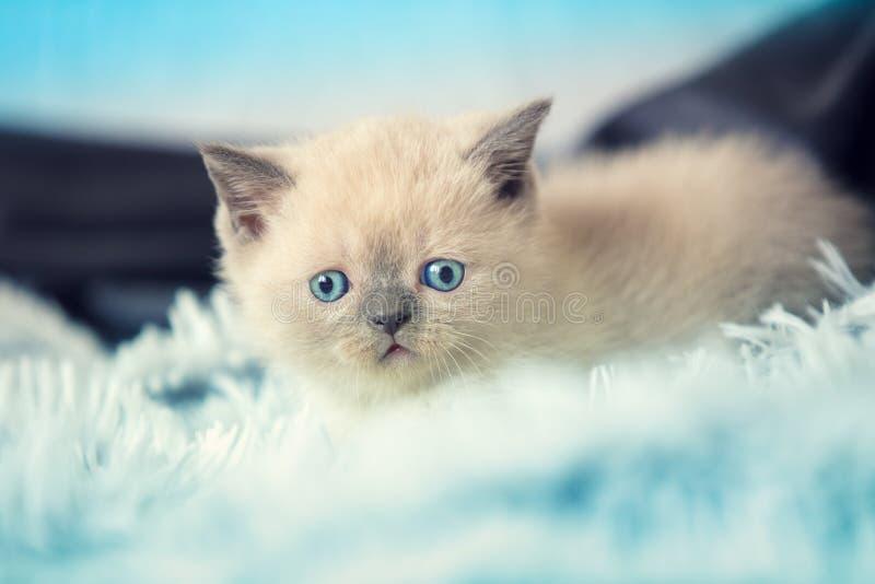 Cute little kitten lying on the blue blanket royalty free stock photography