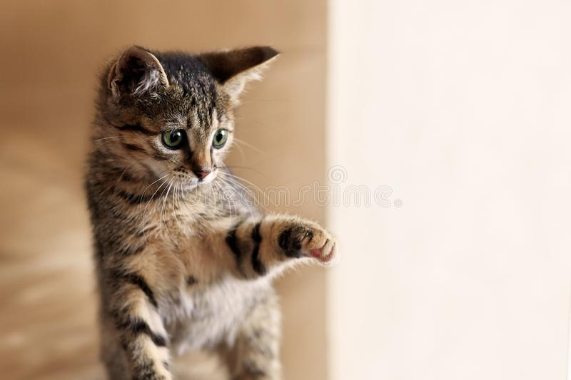 Cute little kitten plays with sun light. Cat of tabby color. stock images