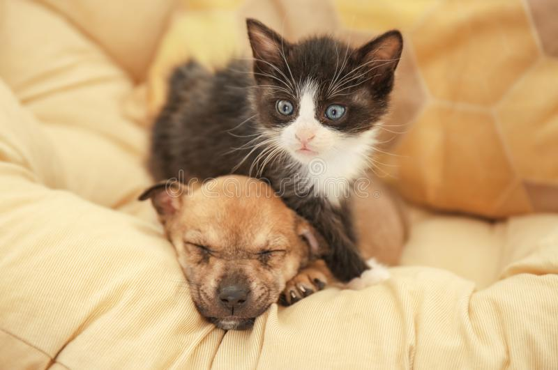 Cute little kitten and puppy on pillow. At home royalty free stock photos