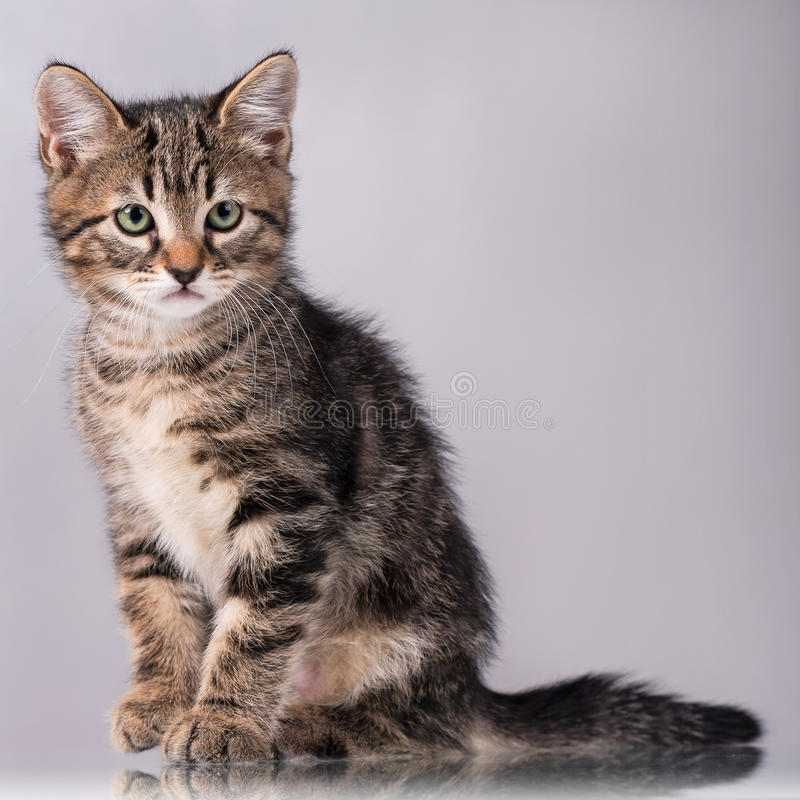 Cute little kitten. With sad eyes over grey background royalty free stock images