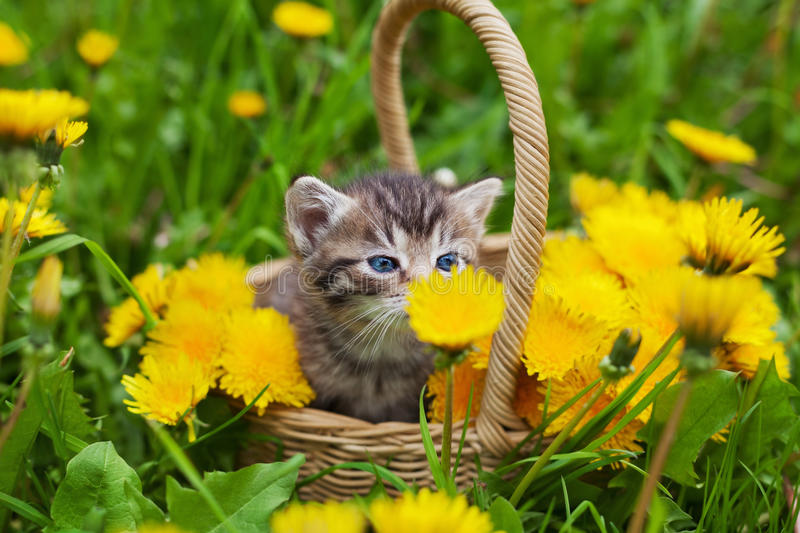 Cute little kitten sitting in a basket on the flower meadow royalty free stock photography