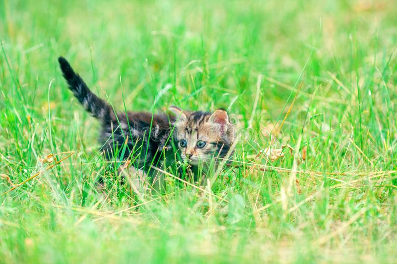 Kitten walking on the grass royalty free stock photography