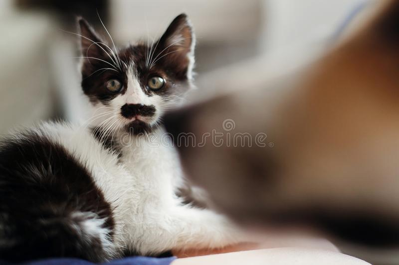 Cute little kitty with amazing eyes and big golden dog looking a. T him in stylish room. adorable black and white kitten and puppy with funny emotions together stock images