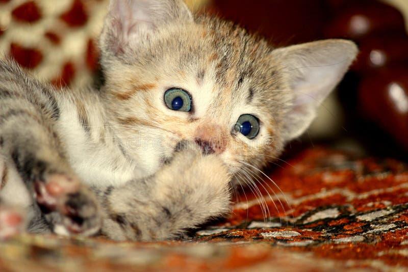 Cute little kitty royalty free stock photos