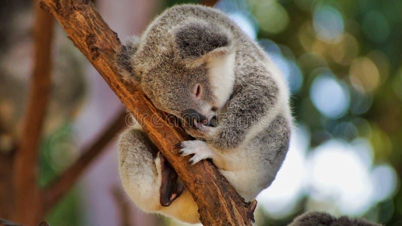 Cute little koala bear sitting and sleeping on tree. The cute little koala bear Phascolarctos cinereus sitting and sleeping on tree in Queensland, Australia royalty free stock image