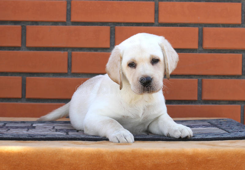 Cute little labrador puppy on a brown background royalty free stock photo