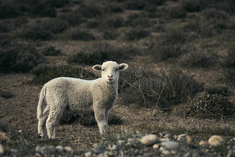 Cute little lamb on the Patagonian plateau during spring sunrise. royalty free stock photos
