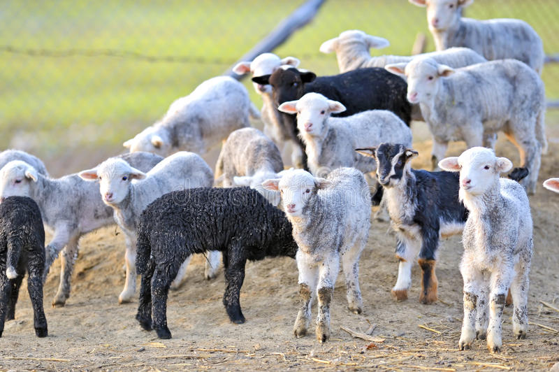 Download Cute little lambs stock image. Image of season, muster - 23871805