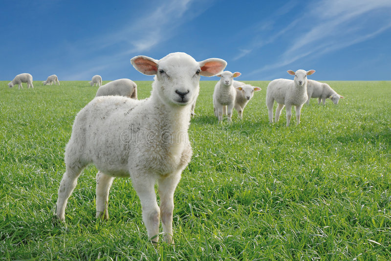 Cute little lambs stock photography