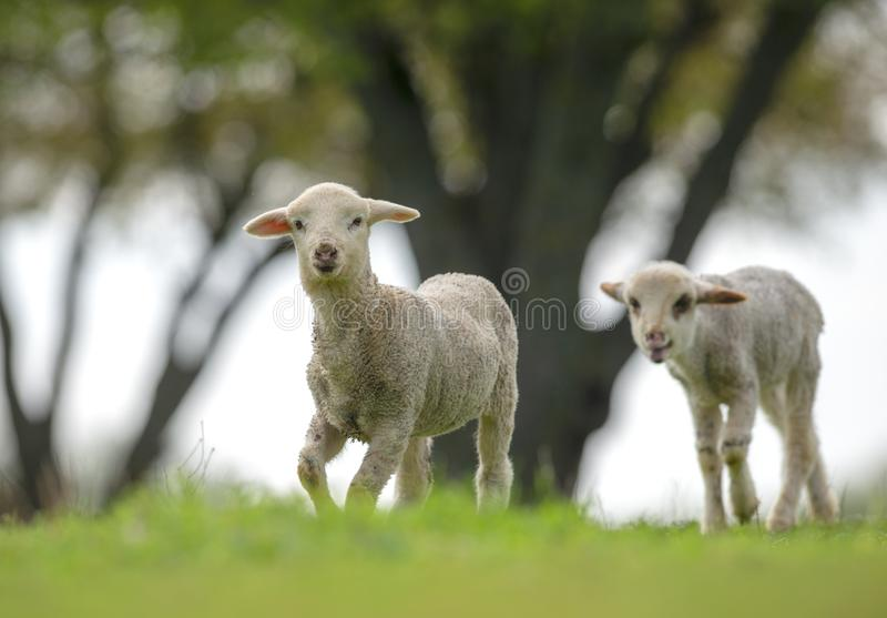 Cute and little lambs on meadow stock photo