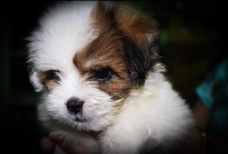 A cute little malshi puppy dog held in hand.  stock images
