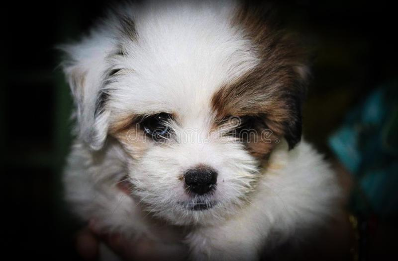 A cute little malshi puppy dog held in hand.  royalty free stock images