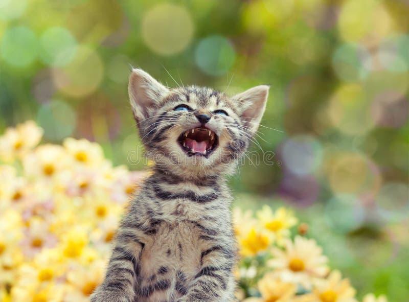 Cute little meowing kitten stock photo