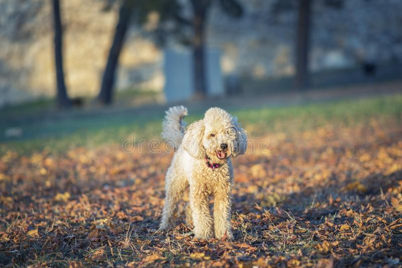 One cute miniature poodle, sunset in a park stock images