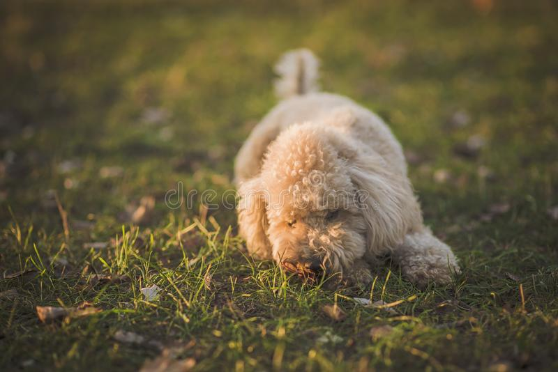 One cute miniature poodle, sunset in a park royalty free stock photos