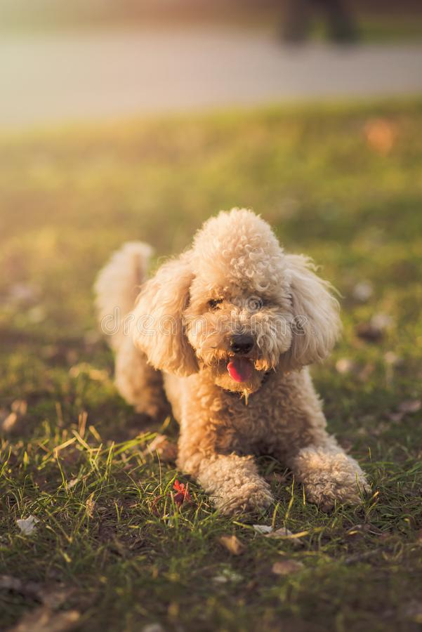 One cute miniature poodle, sunset in a park stock photos