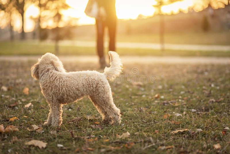 White miniature poodle, sunset in a park stock photos